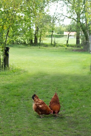 Fresh eggs daily from our chicken!