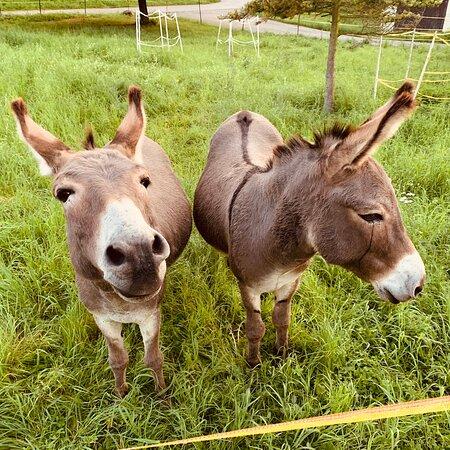 Esel In Haardorf