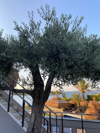 Beautiful olive tree greets you at the entrance!
