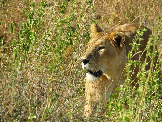 4 Days Game drives Safari Tarangire, Serengeti and Ngorongoro Crater: Leona