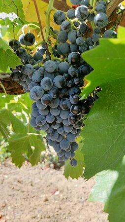 Uva Nero d'Avola
