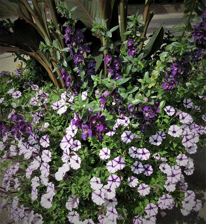 Peoria Heights, IL: Petunias at N Prospect Rd: Cheers, it's September tomorrow! :) August 2021