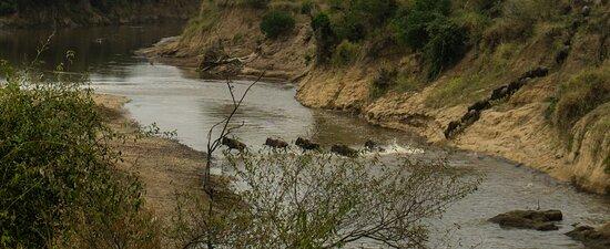محمية ماساي مارا الوطنية, كينيا: The Great Wildebeest Migration: Crossing the Mara River