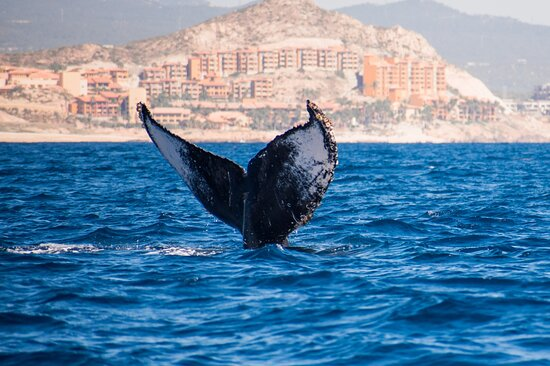 Amazing experience humpback whale watching tour Cabo San Lucas !!