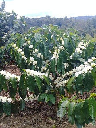 Jardin, Colombia: Matas de cafe en flor y todo un paisaje cafetero en medio de las cordilleras Antioqueñas. Es el inicio de la floracion que presajia una cosecha abundante
