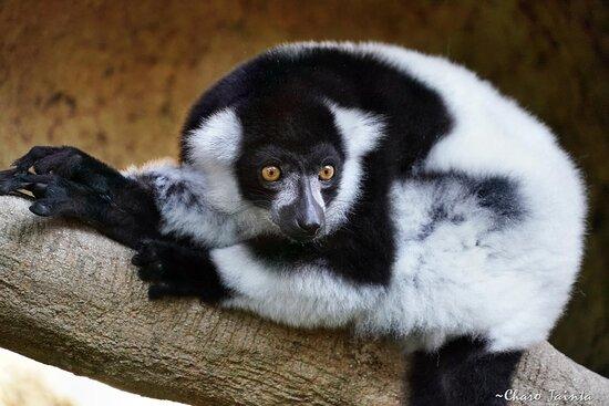 Lemur en mundomar con Charo Tainta