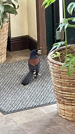 Tatsugo-cho, Japan: ホテル内に迷い込んできた天然記念物のルリカケス