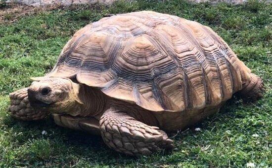 Hogansville, GA: Giant tortoise