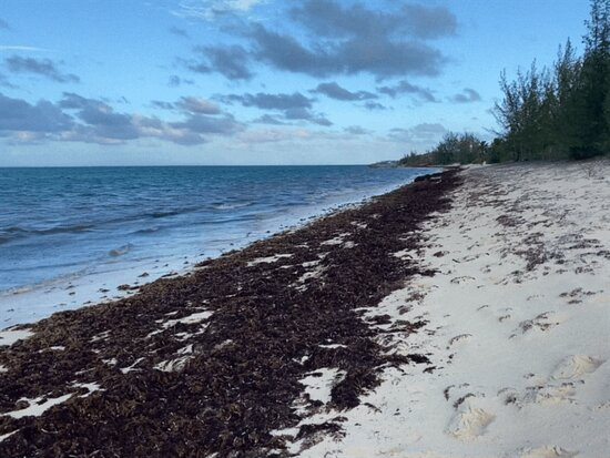 No end in sight of the smelly, fly infested seaweed.
