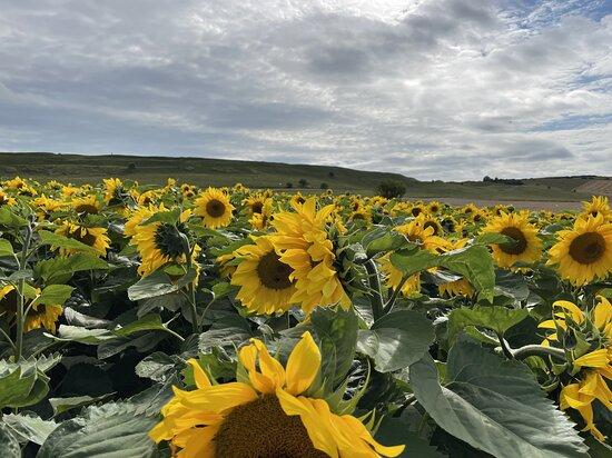 The Dorset Sunflower Trail