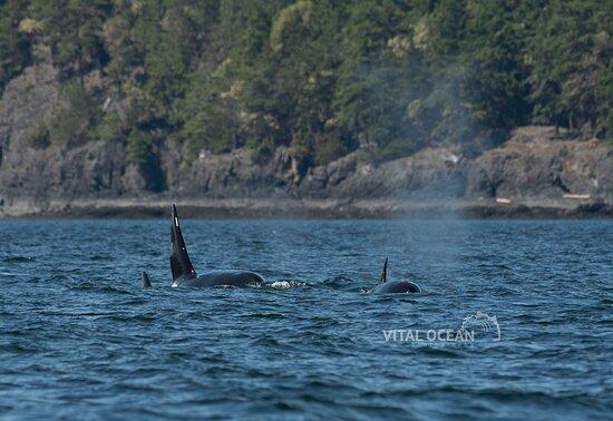 Bigg's Orca/Killer Whales socializing