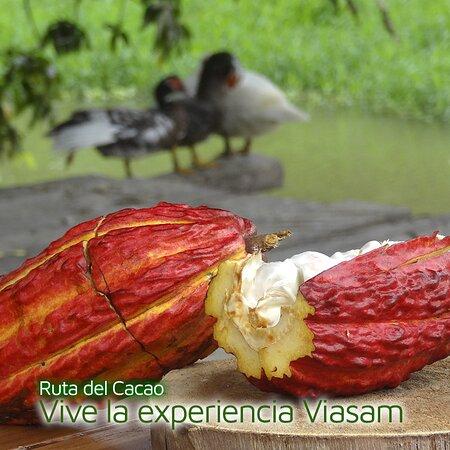 El Cacao es más que una fruta simboliza ,riqueza e historia años de trabajo se encierra en esta maravillosa fruta considerada el manjar de los Dioses  .  Anímate y vive una #ExperienciaViasam.