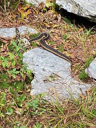 Three foot garter snake on trail