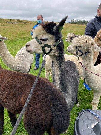 Wonderful family day with alpacas