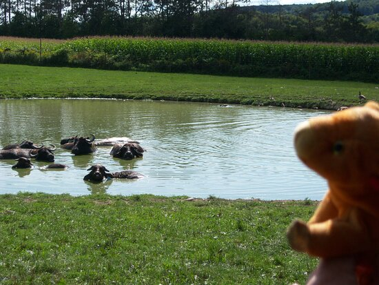 Jake says hi to water buffalo at Hidden Valley Animal Adventure