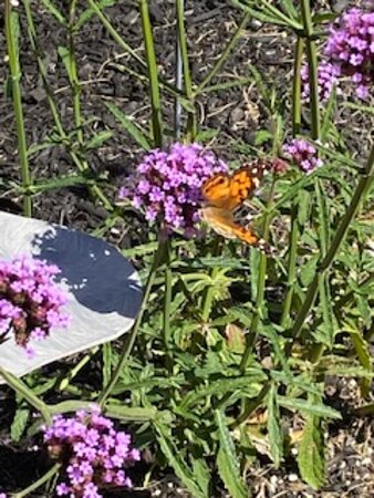 Lots of butterflies this time of year gracing the flowers in front of the store.