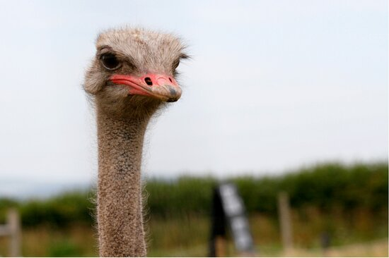 Come and meet Oscar the Ostrich on our free family farm trail
