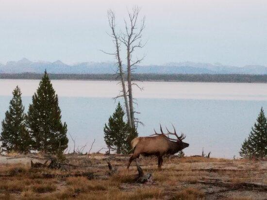 حديقة ييلوستون الوطنية, Wyoming: Bull elk rounding up his harem