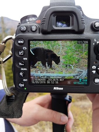 حديقة ييلوستون الوطنية, Wyoming: Bear - taken by a photographer
