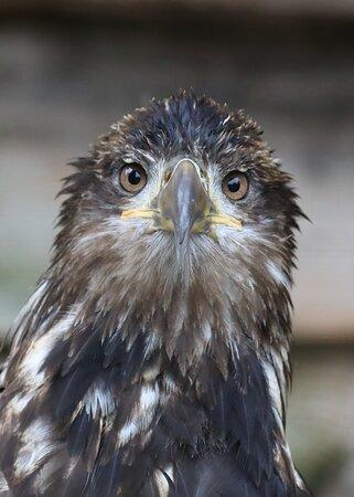Errington, Canadá: golden eagle