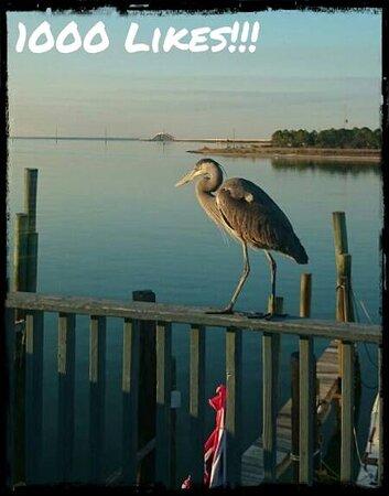 Angus, the Blue Heron.