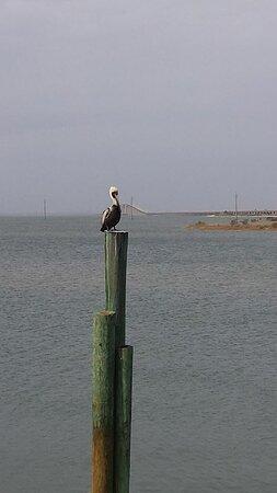Mr. Harry, the Pelican.