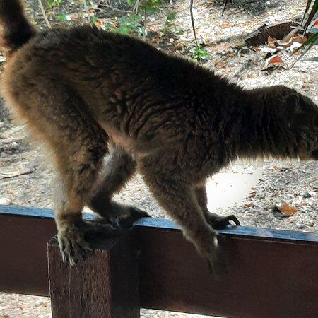 I lemuri (chiamati Maki dai locali) sono socievoli, bisogna evitare di dar loro del cibo, espressamente scritto nel ristorante della struttura