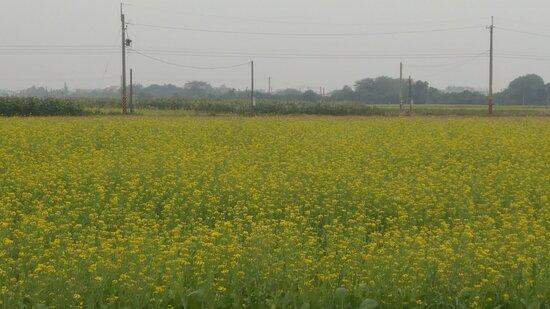 冬天,附近的油菜花田 Winter, canola flower fields in 2 mins walking.