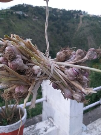 Lehsan aka Garlic from our fields being dried out ... We try to use most ingredients that we grow here...