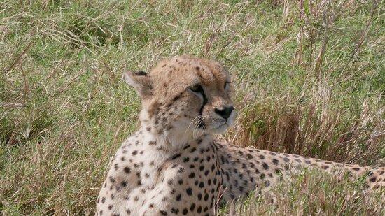 1 Day Lake Nakuru: Cheetah