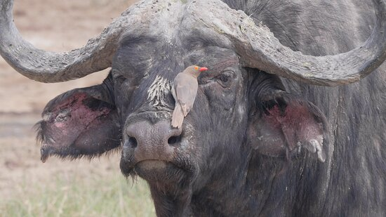 1 Day Lake Nakuru: Buffalo with a red billed oxpecker on his head.