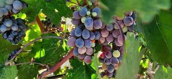 Şarap Üzümleri
