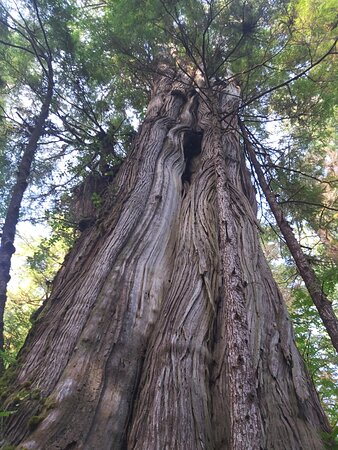 Amazing old growth forest on Spring Island