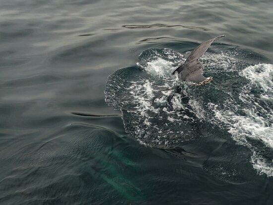Der Wal ist unserem Boot Nahe gekommen und einmal daneben geschwommen und einmal unten durch getaucht. Wir haben nur 2 Stunden auf dem Wasser verbracht, da wir nach 15min den Wal gefunden haben und das Unternehmen auch darauf achtet, dass er wieder seine Ruhe bekommt.  Die 3. Tour in meinem Leben und die Beste!