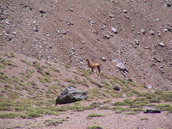 Guanacos por valle de Vacas en el Aconcagua