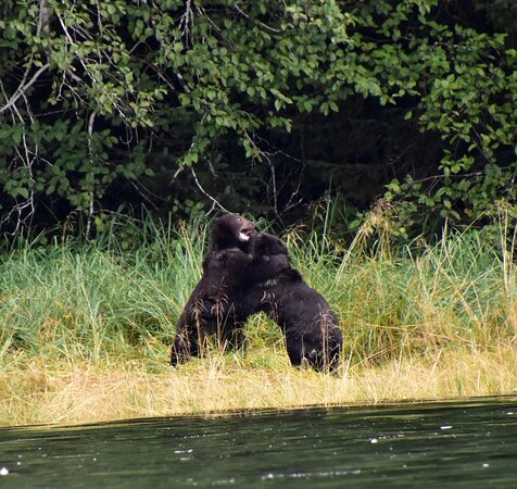 Two cubs play wrestling on the banks of Silver Bay.