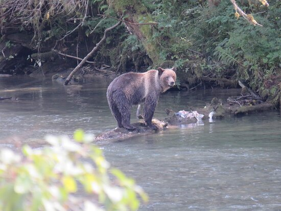 Great Bears of Bute: Grizzly Bear Viewing & Indigenous Cultural Tour: Grizzly