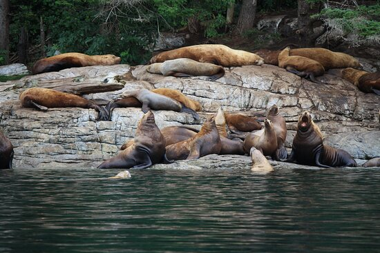 Great Bears of Bute: Grizzly Bear Viewing & Indigenous Cultural Tour: Sea Lions