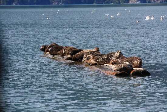Great Bears of Bute: Grizzly Bear Viewing & Indigenous Cultural Tour: Seals