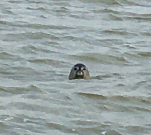 Seals off Isle Sheppey Nature Reseve