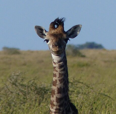 Young giraffe less than a day old. You can see the umbilical cord. Mom is close by.