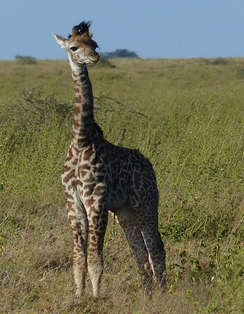 Another view of the same baby giraffe.