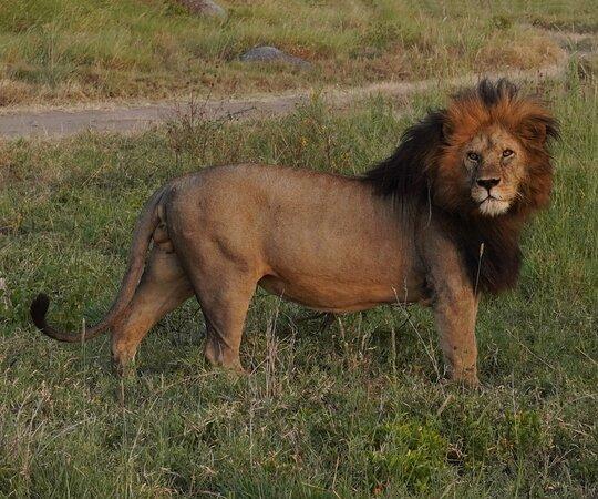 Black maned lion, central Serengeti.