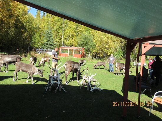 Presentation is under a canopy; reindeer introduced here