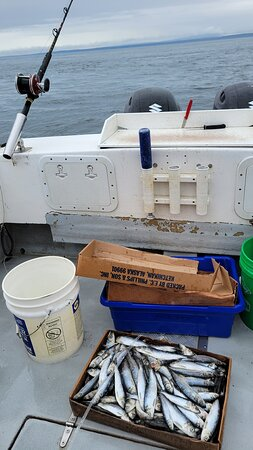 Herring are prepped to catch halibut
