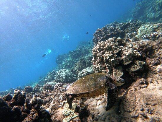 6-Hour Lanai Snorkel & Dolphin Tour from Lahaina: Honu sighting off Lanai
