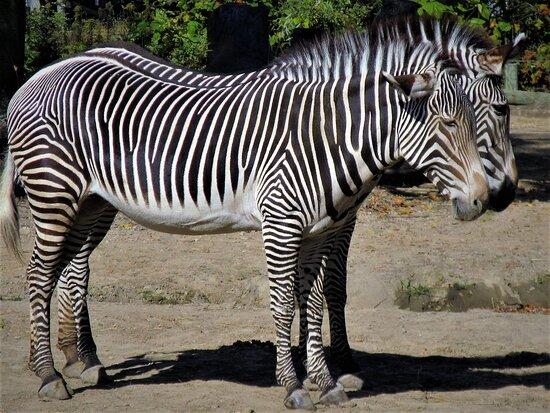 Africa! Grevy's Zebras (1): stunning parallelism!  October 2020