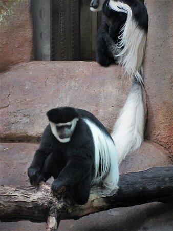 Colobus Monkey (2)