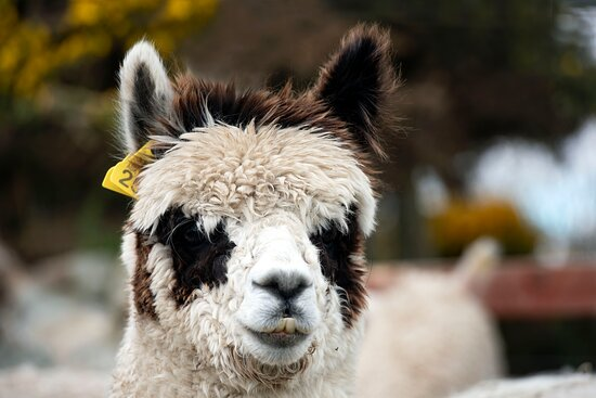 Gambit says Hi and looks forward to meeting you for our Alpaca & Prosecco Trek Experience
