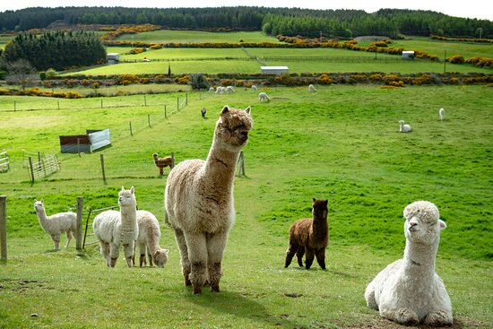 Ted & Crew from the boys Trek team are chilling on their days off at K2alpacas